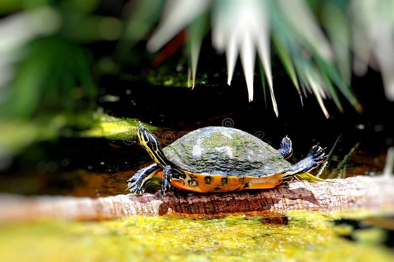 buktad cooterredsköldpadda royaltyfria foton