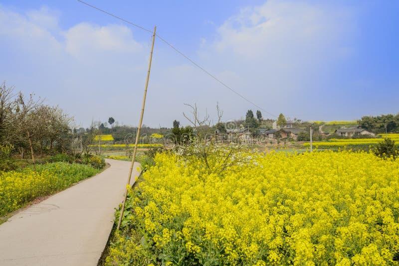 Buktig countryroad i blomningcolefält på solig vårdag royaltyfri bild