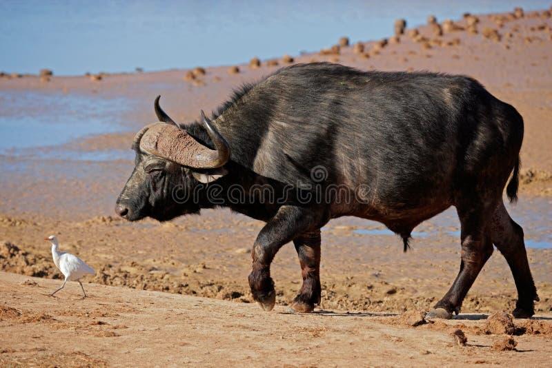 Bul africano del bufalo, Sudafrica immagine stock