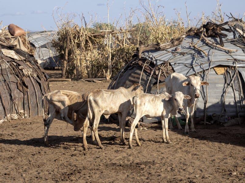 Bul in corral dans le village du fleuve Dassanech, Omo Ethiopia photos libres de droits