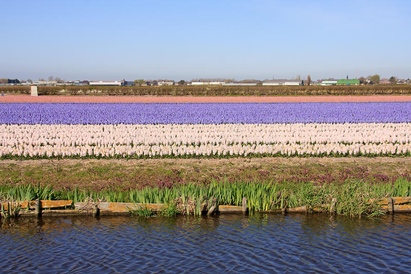 Bulb Field Of Pink Hyacinths Royalty Free Stock Photo