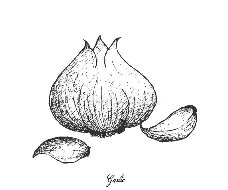 Hand Drawn of Garlic on White Background. Bulb & Stem Vegetable, Illustration of Hand Drawn Sketch of A Dried Garlic Bulb Used for Seasoning in Cooking. Isolated royalty free illustration