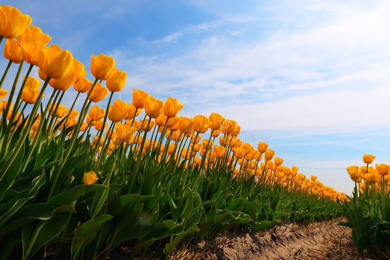 bulbfield tulipanów kolor żółty zdjęcie royalty free