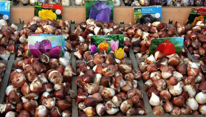 Bulbo do Tulip imagem de stock royalty free