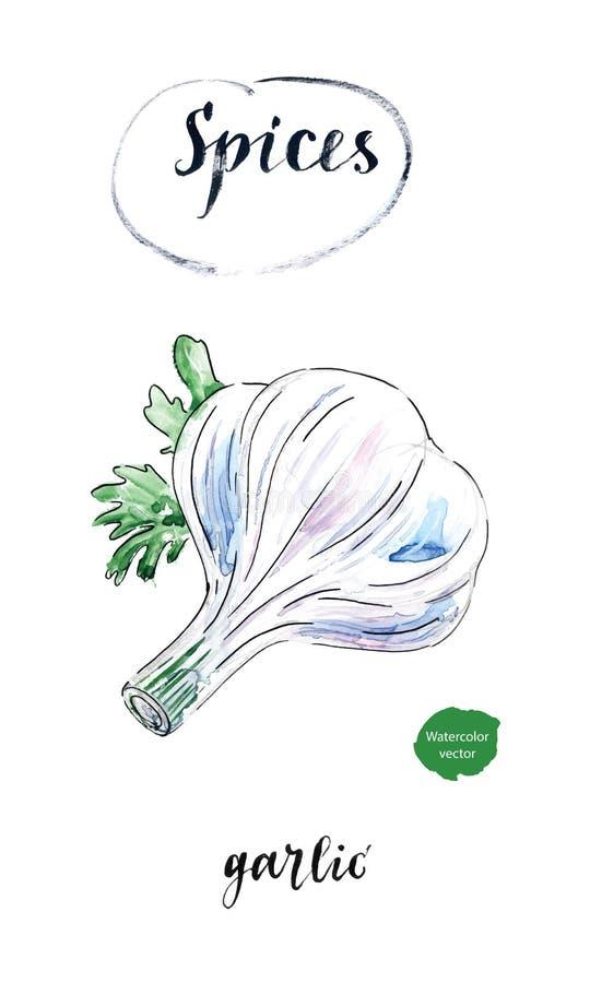 Bulbo fresco da aquarela do alho com as folhas da salsa ilustração do vetor