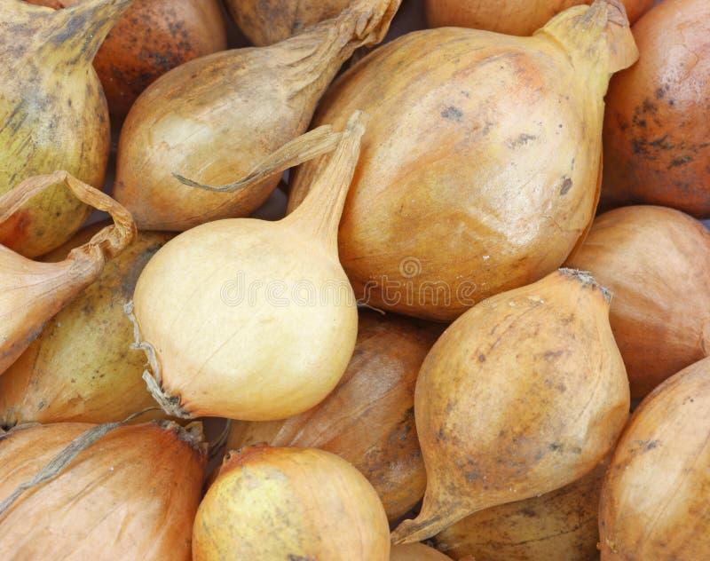Bulbos amarelos da cebola foto de stock royalty free