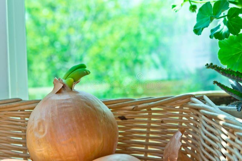 Bulbos brotados amarillo de la cebolla en cesta de mimbre en travesaño de la ventana Plantas de la casa Mañana del verano de la p imagen de archivo libre de regalías
