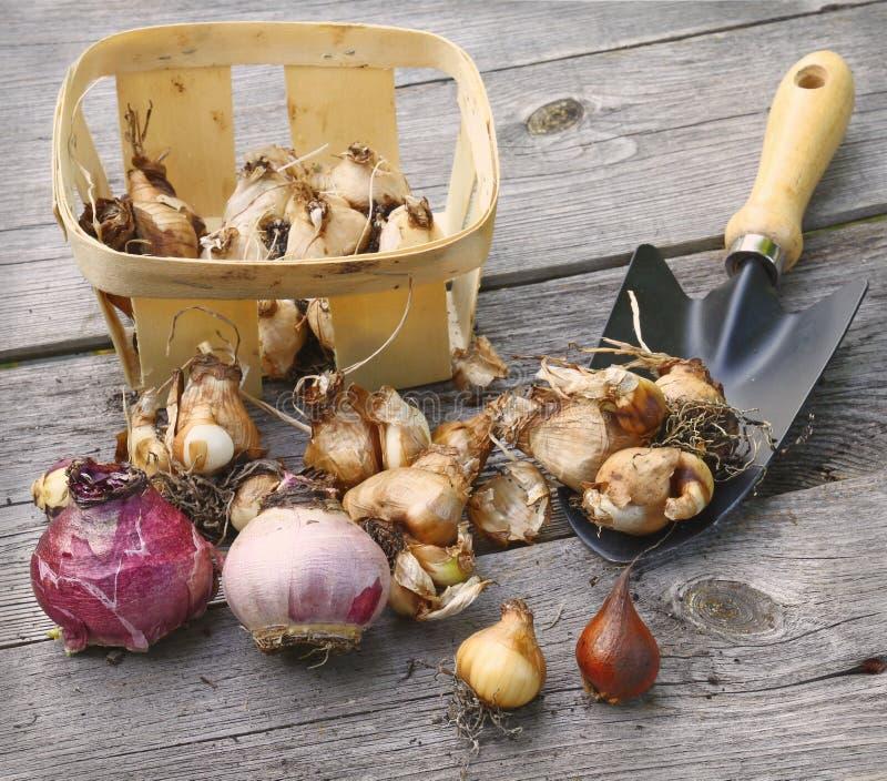 Bulbos, cesta e pá na tabela de madeira. fotos de stock