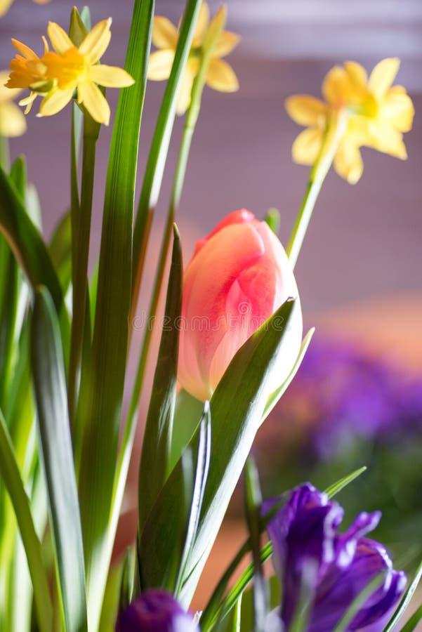 Bulbos coloridos bonitos da mola que florescem dentro fotografia de stock royalty free