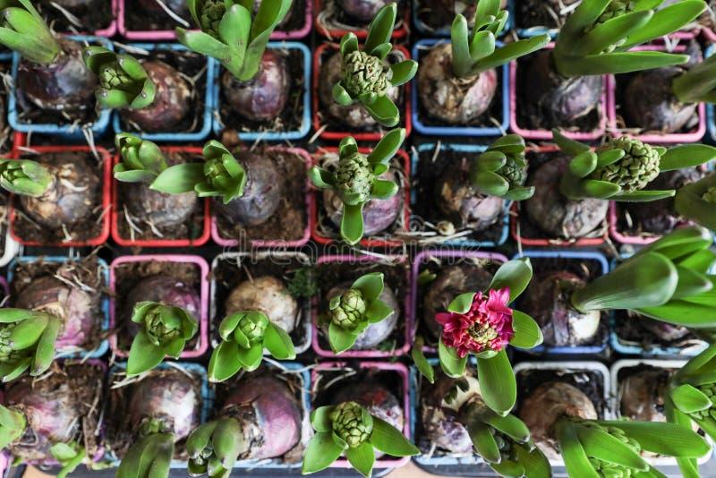 Bulbos crescentes do jacinto do tempo de mola em uns vasos de flores foto de stock