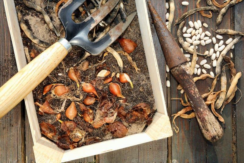 Bulbos da mola das plantas na caixa do fundo de madeira fotos de stock royalty free