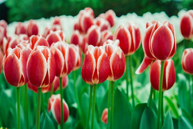 Bulbos da tulipa, jardim de Keukenhof, Holanda imagens de stock royalty free