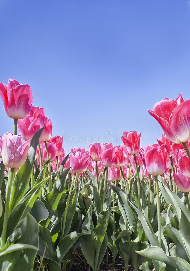 Bulbos da tulipa na flor fotografia de stock