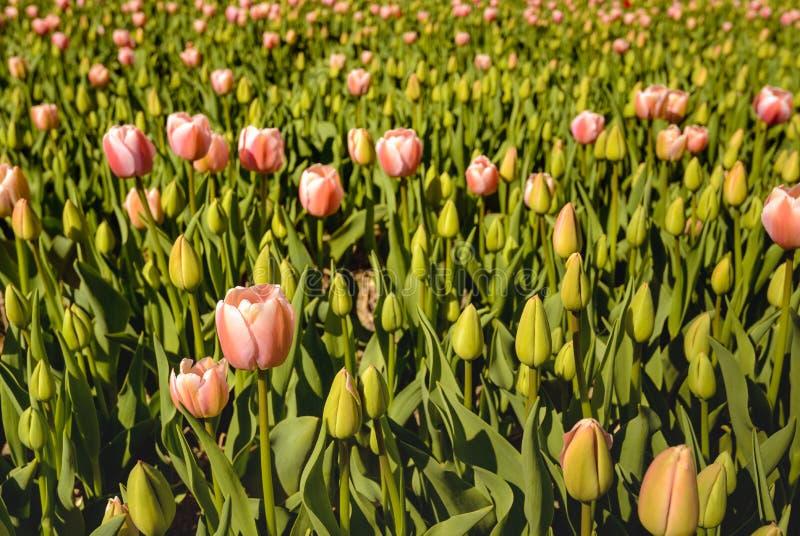 Bulbos de brotamento e de florescência cor-de-rosa da tulipa na luz solar do amanhecer imagens de stock