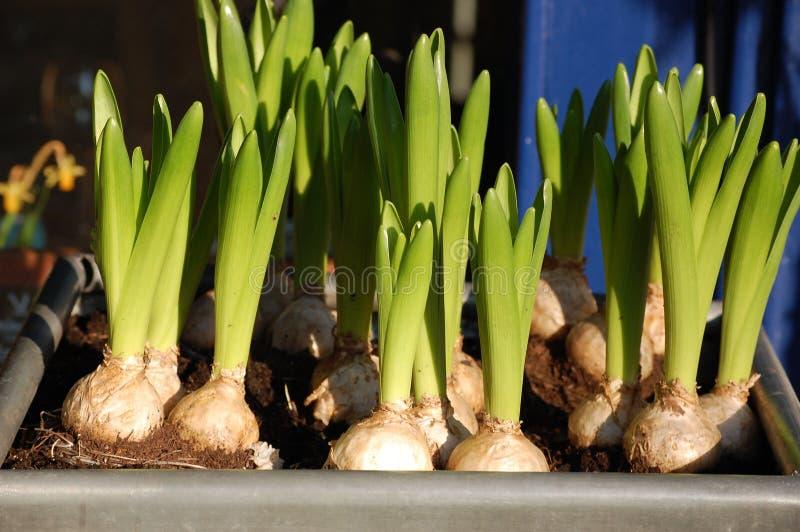 Bulbos de flor fotos de stock royalty free