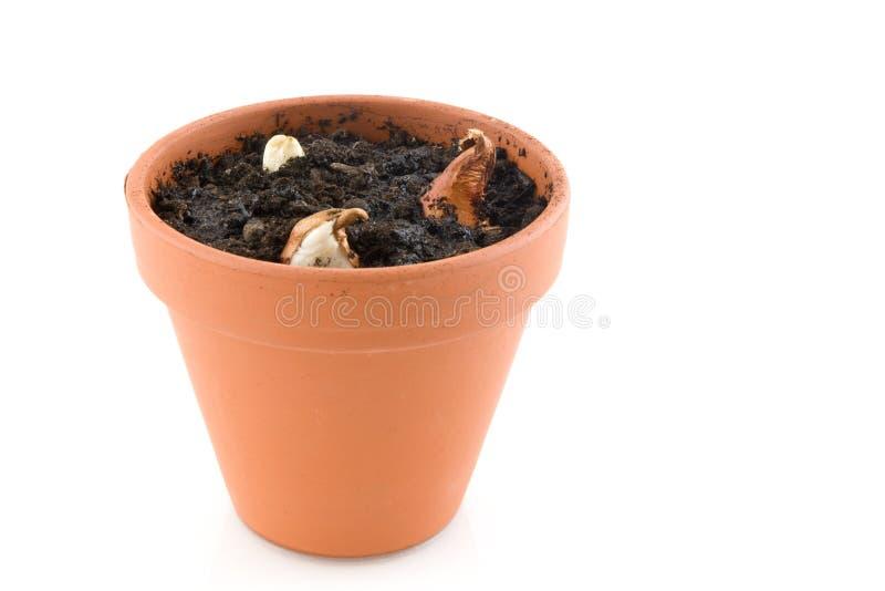 Download Bulbos de flor foto de archivo. Imagen de botánico, tulipanes - 7279642