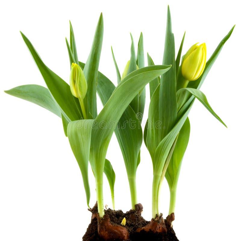 Bulbos de flor amarillos imagenes de archivo