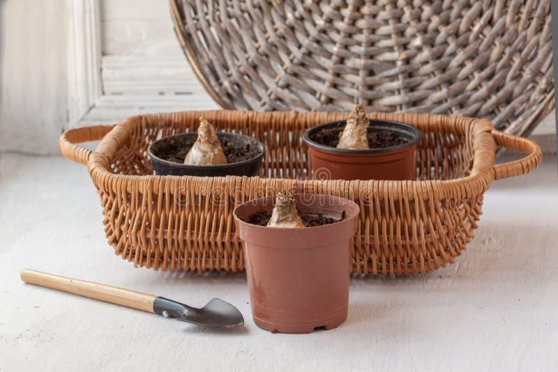 Bulbos de Galtonia ou jacinto de cabo ou jacinto africano imagens de stock royalty free