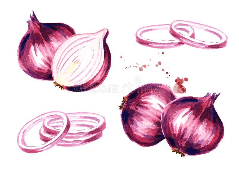 Bulbos de la cebolla fijados Ejemplo dibujado mano de la acuarela, aislado en el fondo blanco libre illustration