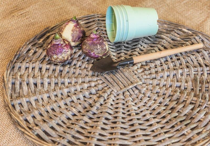 Bulbos del jacinto y potes plásticos foto de archivo libre de regalías