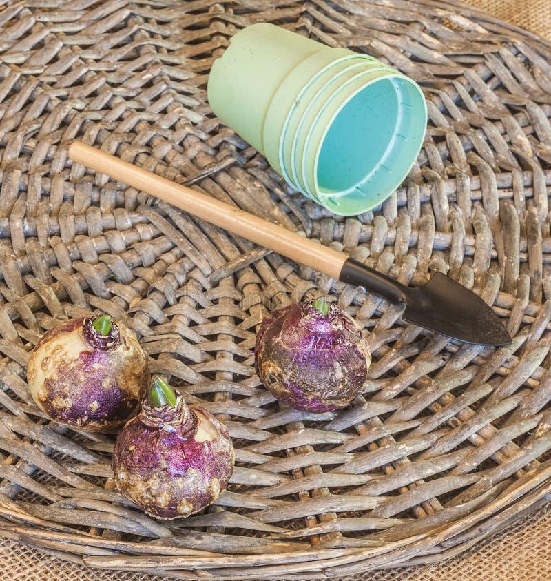 Bulbos del jacinto y potes plásticos imagen de archivo libre de regalías
