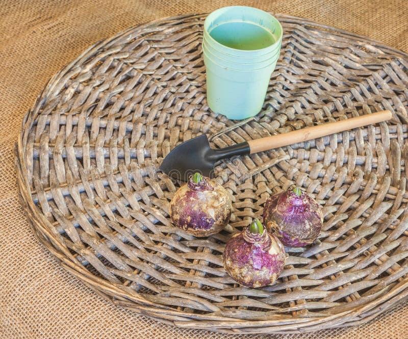 Bulbos del jacinto y potes plásticos imágenes de archivo libres de regalías