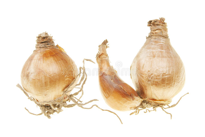 Bulbos del narciso foto de archivo Imagen de blanco 11020510