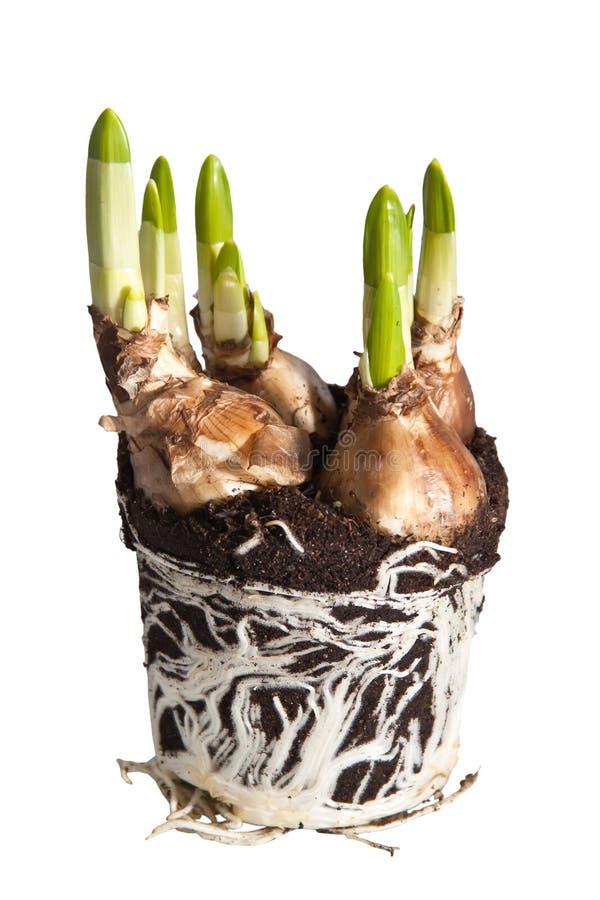 Bulbos del tulipán fotografía de archivo