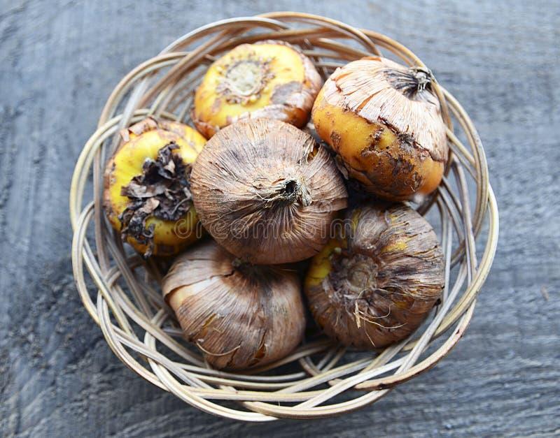 Bulbos do tipo de flor em uma cesta antes de plantar no fundo de madeira velho Rebentos dos tipos de flor O jardim da mola trabal fotos de stock royalty free
