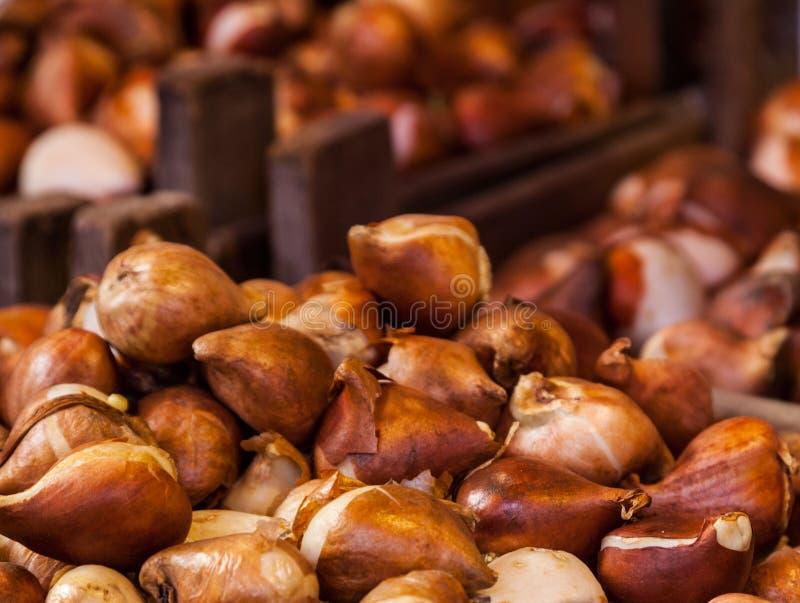 Bulbos do Tulip foto de stock