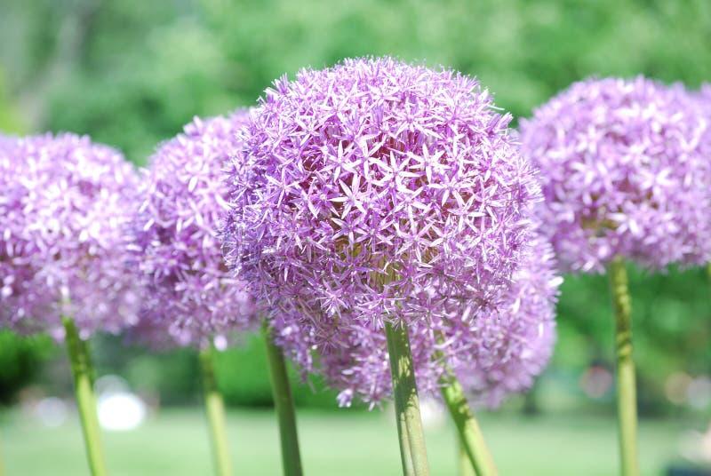Bulbos florecientes del allium en la floración imagenes de archivo