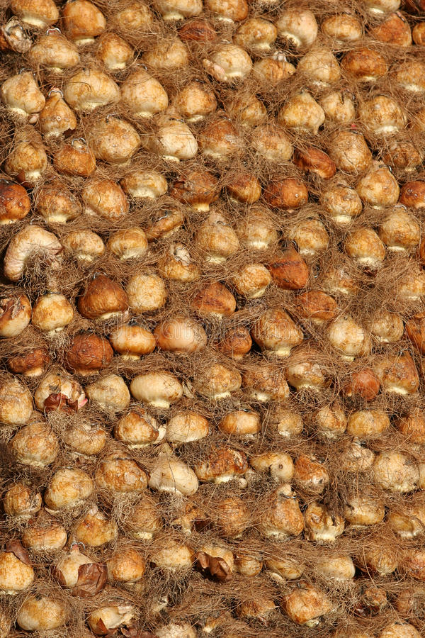 bulbos secos del jacinto. imágenes de archivo libres de regalías