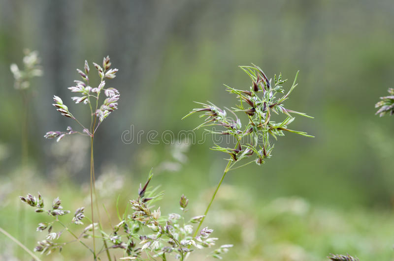 Bulbous bluegrass, Poa bulbosa. Flowers of Bulbous bluegrass, Poa bulbosa. It is native to Eurasia and North Africa, but it is present practically worldwide as royalty free stock photos