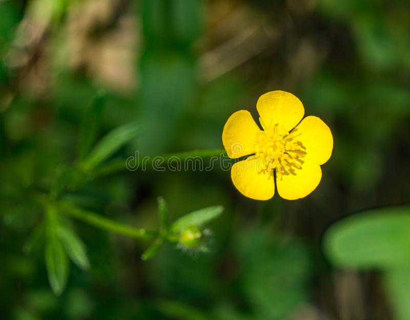 Bulbous Buttercup – Ranunculus bulbous. The Bulbous butter wildflower can be found in fields and moist meadow from April to August royalty free stock photography