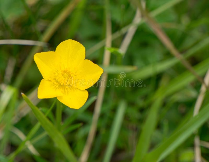 Bulbous Buttercup – Ranunculus bulbosus. Bulbous Buttercup commonly known as St. Anthony`s turnip or bulbous buttercup, is a perennial member of the stock photos