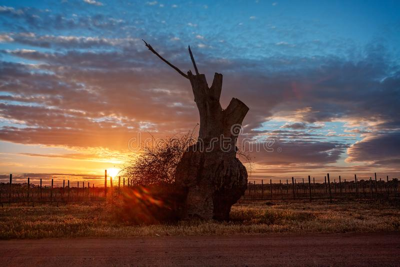 Bulbous tree trunk and grape vines in the sunrise. Bulbous tree trunk and rows of grape vines  in the morning sunrise out in rural Australia stock photo