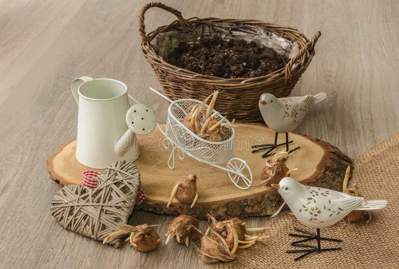 Bulbs of autumn crocus next to decorative birds in the background of the basket. Bulbs of autumn crocus with a decor on the background of a basket stock image