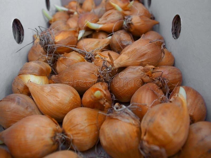 Bulbs irises stock photography