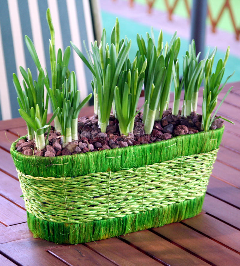 Download Bulbs potted stock image. Image of decoration, narcissus - 14647931