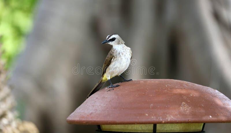 Bulbul Amarillo-expresado en Bali Indonesia, pájaro local único hermoso en Asia imagenes de archivo