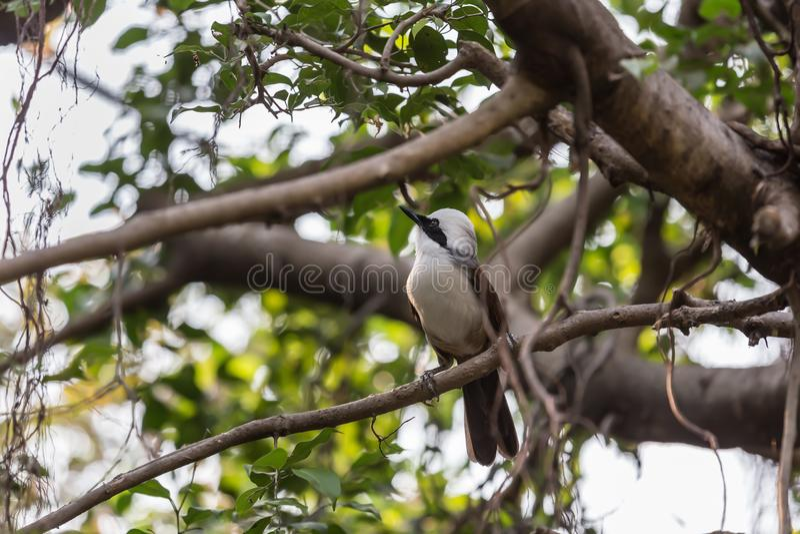 Bulbul Amarillo-expresado pequeño pájaro imagen de archivo libre de regalías