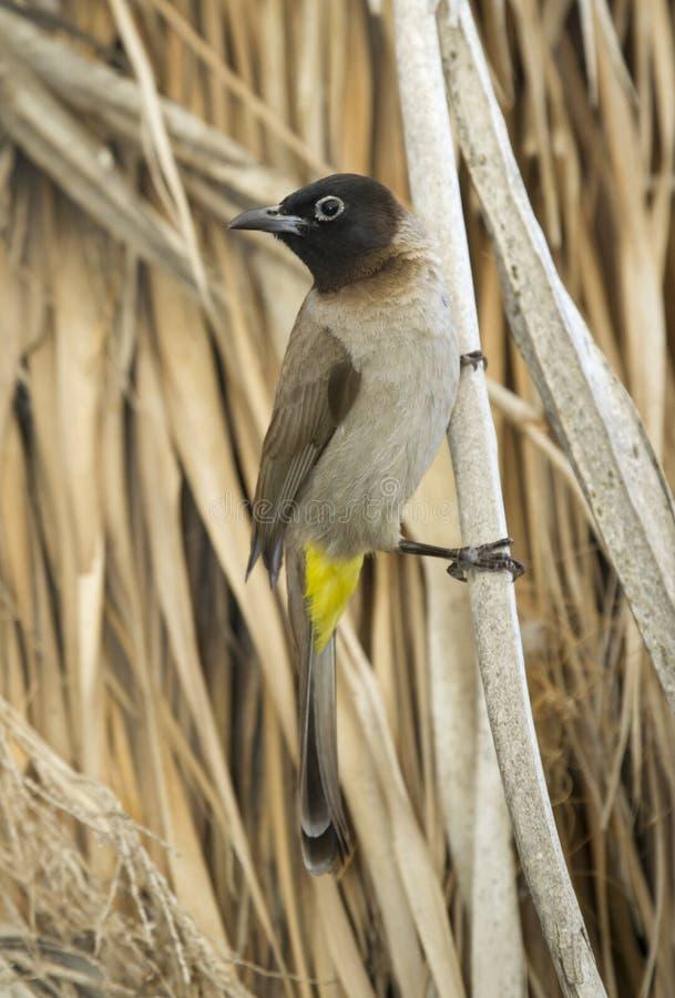 Bulbul Amarillo-expresado (Pycnonotus más goiavier) fotografía de archivo libre de regalías