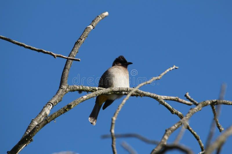Bulbul ptak Przeciw Bogatemu niebieskiemu niebu zdjęcia stock