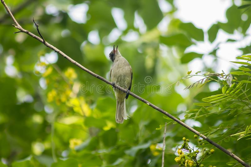 Bulbul Raia-orelhudo na natureza em ramos imagens de stock