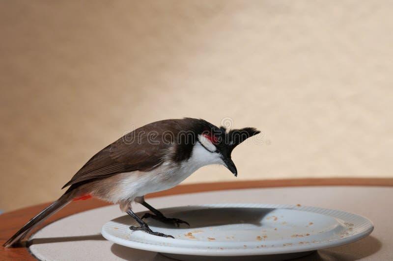 bulbul Rojo-patilludo, jocosus de Pycnonotus, Mauricio fotografía de archivo libre de regalías
