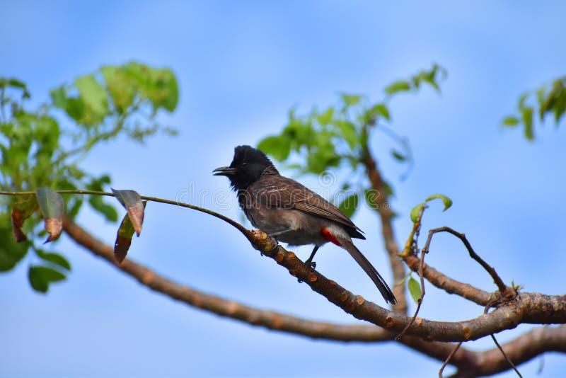 Bulbul Rosso-scaricato - Sri Lanka fotografia stock libera da diritti