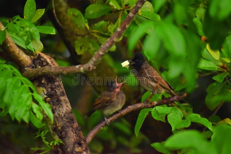 Bulbul Rosso-scaricato - Sri Lanka fotografia stock