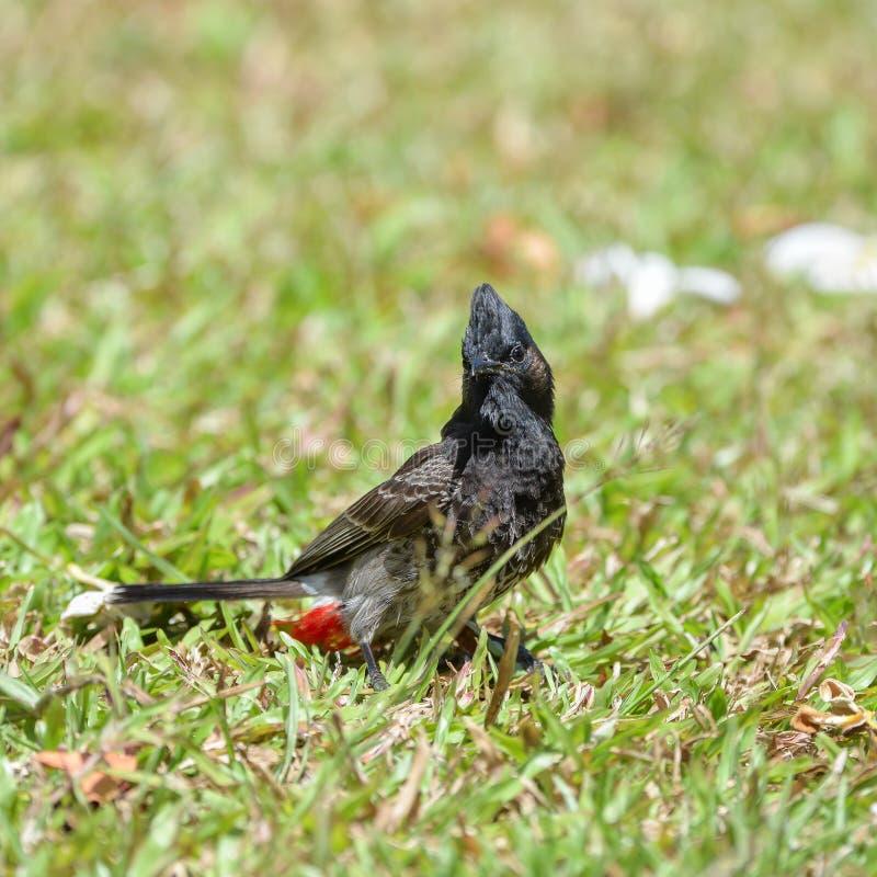 Bulbul Rouge-exhalé, oiseau photos libres de droits