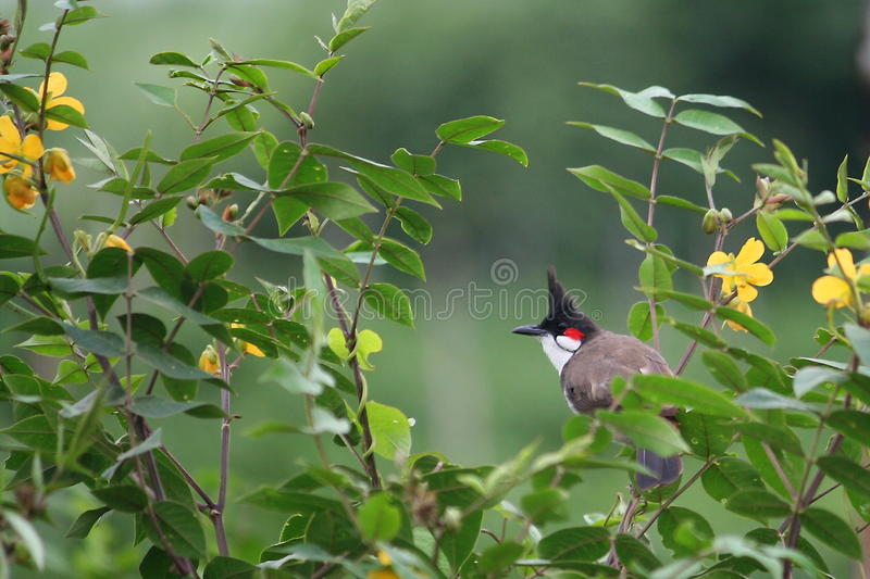 Bulbul Rouge-whiskered images stock