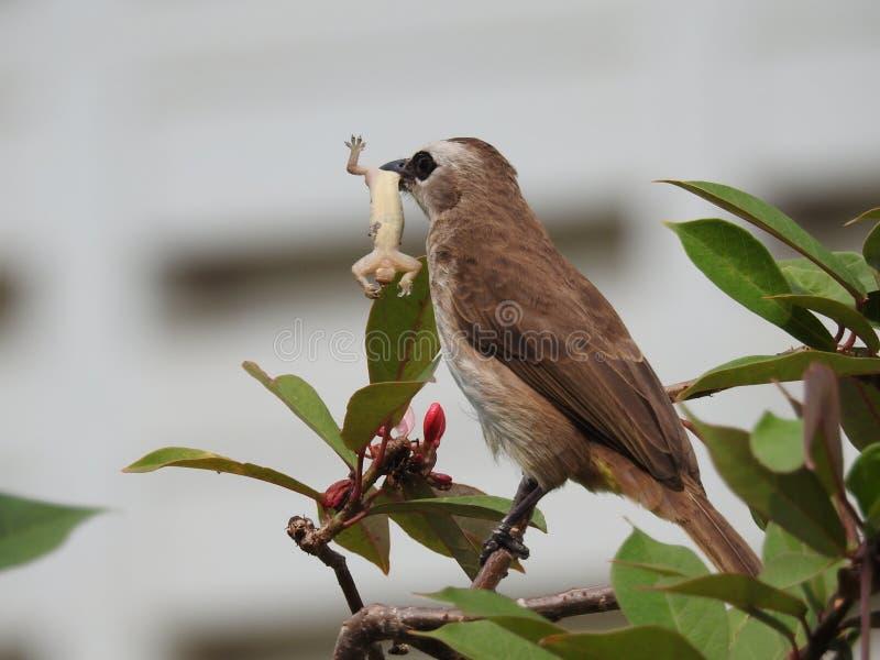 Bulbul Striscia-eared fotografie stock libere da diritti